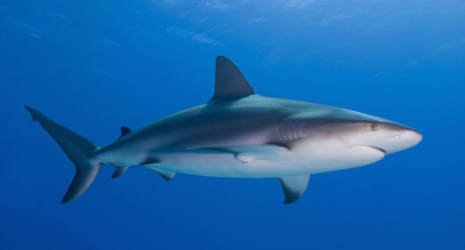 CLSのデザインモチーフとなったサメ。なるほど確かに似ている