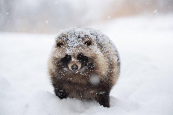 「うわっ、ヒグマ!」かと思ったら、パンパンに太った冬のエゾタヌキでした