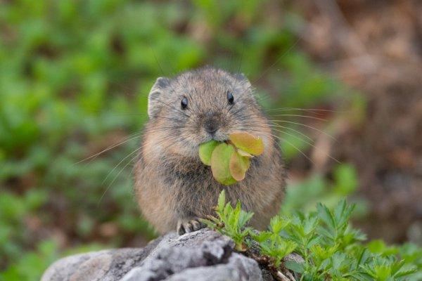 登山者たちが憧れるエゾナキウサギ。北海道の高山に暮らす超希少動物です