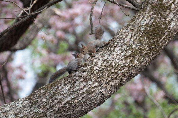 桜の開花とともにお目見え。子エゾリスのかわいい姿にメロメロ!