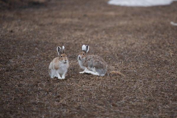 エゾユキウサギ繁殖中。パートナー争奪戦はめちゃくちゃ過酷です!