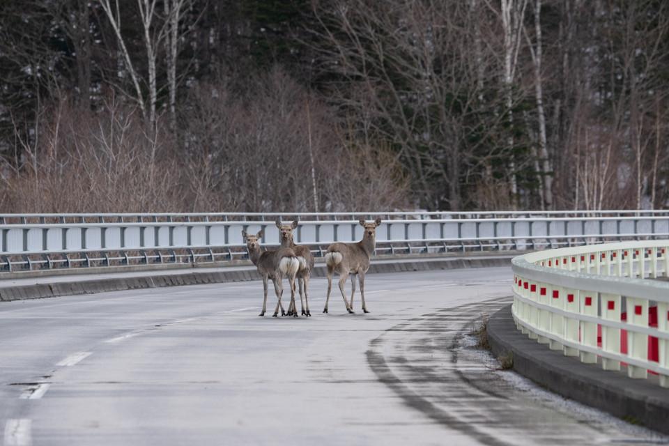 北海道では、大増殖するエゾシカとの交通事故急増中!