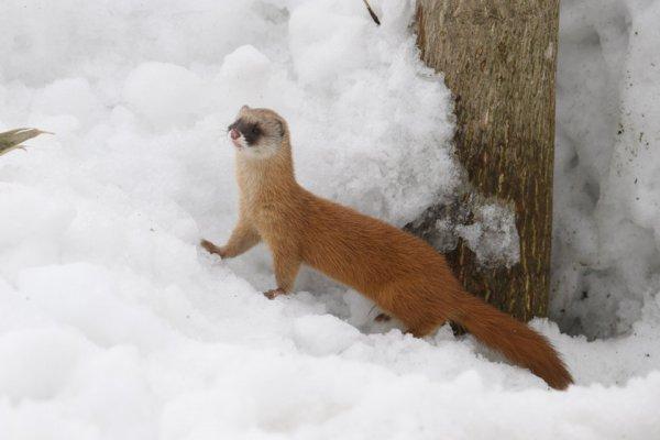 動物を撮り始めて20年。初めてニホンイタチ撮影に成功!