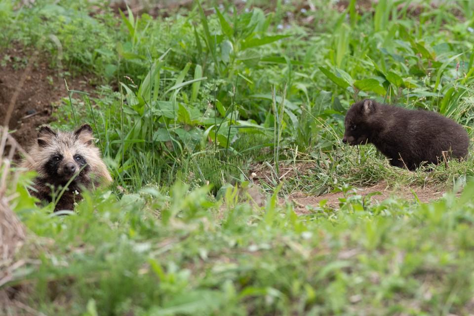エゾタヌキの子はヒグマの子そっくり。トイレは共同、集団生活が基本です