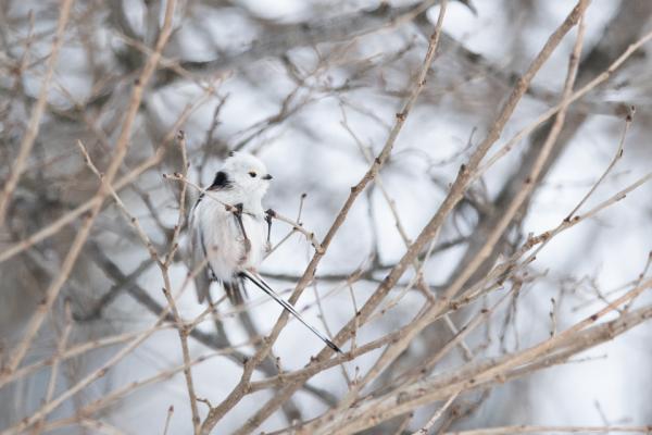 道産子野鳥のなかで人気ナンバーワン「妖精」シマエナガのベストショット集