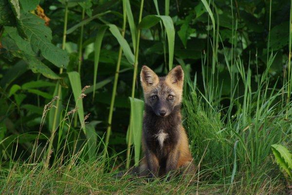 【超稀少動物】アイヌの人々に神と崇められた「十字狐」
