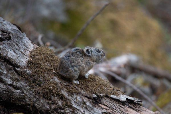 「白い恋人」のCMのロケ地となった「ハート形の湖」周辺に暮らすエゾナキウサギ
