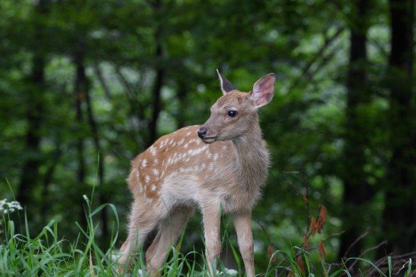 子育て中のエゾシカ 甘えん坊のバンビちゃんが超かわいい!