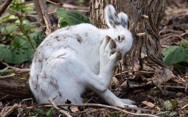 かわいさ満点! 手の平サイズの子エゾユキウサギに遭遇