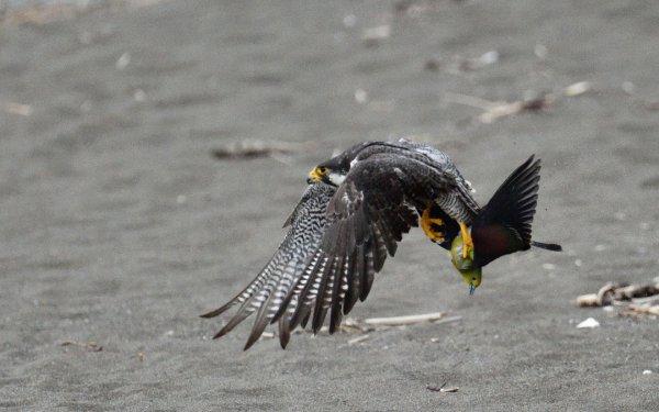【衝撃画像】動物界最速のハンター・ハヤブサが無慈悲な狩りの瞬間!
