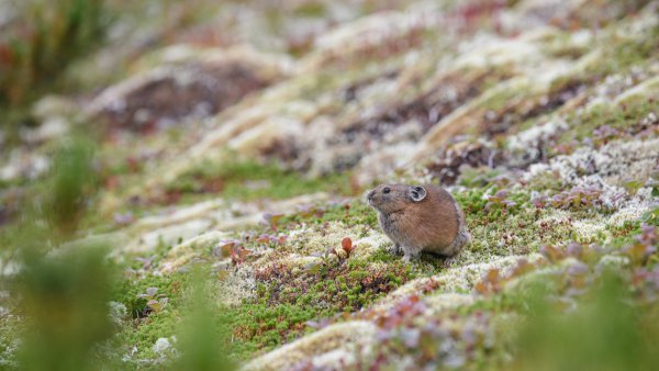 氷河時代からしぶとく生き延びた剛の者・エゾナキウサギ、懸命の冬支度!