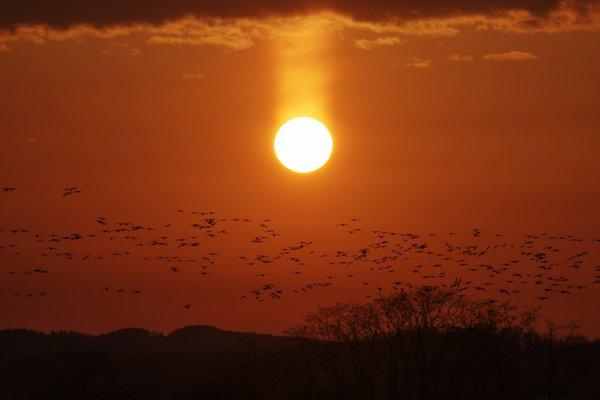 朝焼けの空を覆い尽くす渡り鳥たち! マガン「ねぐら立ち」の大迫力!